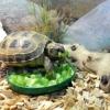 Чим годувати черепаху