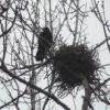 Чим годувати пташеняти ворони