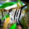 Чим годувати скалярій в акваріумі