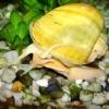Чим годувати равликів в акваріумі