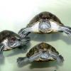 Чим годувати водну черепаху