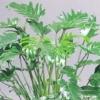 Квітка філодендрон - догляд в домашніх умовах