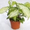 Квітка сингониум - догляд в домашніх умовах