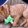 До чого сниться собака