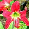 Гиппеаструм - догляд в домашніх умовах за квіткою