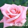 Як використовувати пелюстки троянд для догляду за шкірою