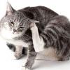 Як позбутися від бліх у кішки