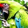 Як навчити самку папуги говорити
