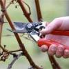 Як потрібно обрізати виноград: поради бувалих садівників