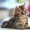 Як почистити вуха кошеняті
