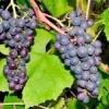 Як правильно обрізати виноград восени
