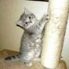 Як привчити кошеня до когтеточке