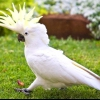 Як доглядати за папугою жако