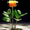 Як доглядати за трояндами