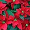 Як доглядати за різдвяним квіткою