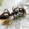 Як вивести домашніх мурах