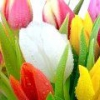 Коли садити тюльпани?