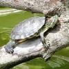 Червоновухі черепахи догляд та утримання