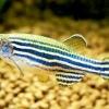 Невибагливі рибки для акваріума