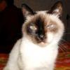 Чому у кішки сльозяться очі?
