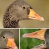 Чому у птахів немає зубів?