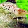 Прісноводні креветки в акваріумі