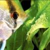 Скалярии, розмноження в загальному акваріумі