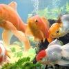 Зміст золотих рибок в акваріумі