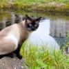 Догляд за сіамським котом